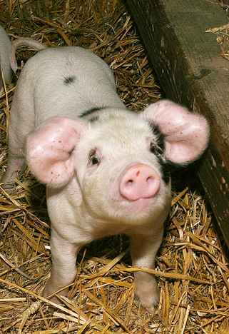 """death of a pig e.b. white essay Lepore: read this e b white essay called """"death of a pig for those that may not click on title alone, this essay is by e b white, author of charlotte's web."""