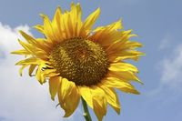 Sunflower2_smaller