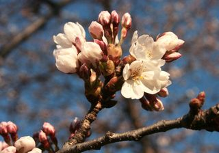 Cherry blossom april 6 closeup by David Allen