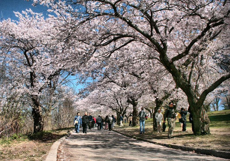 High Park cherry blossom walk by David Allen