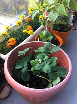 Strawberry plant in a pot balcony