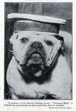 British Bulldog in sailor hat 1913