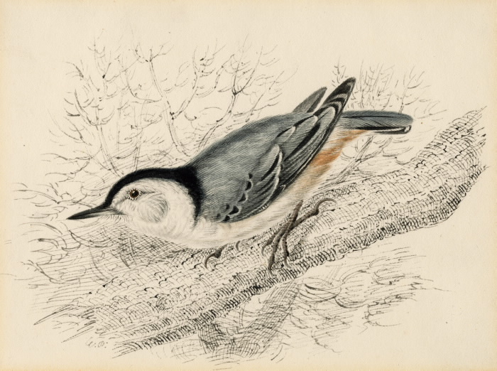 White-Breasted Nuthatch illustra