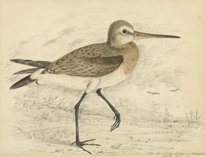 The Hudsonian Godwit illustration