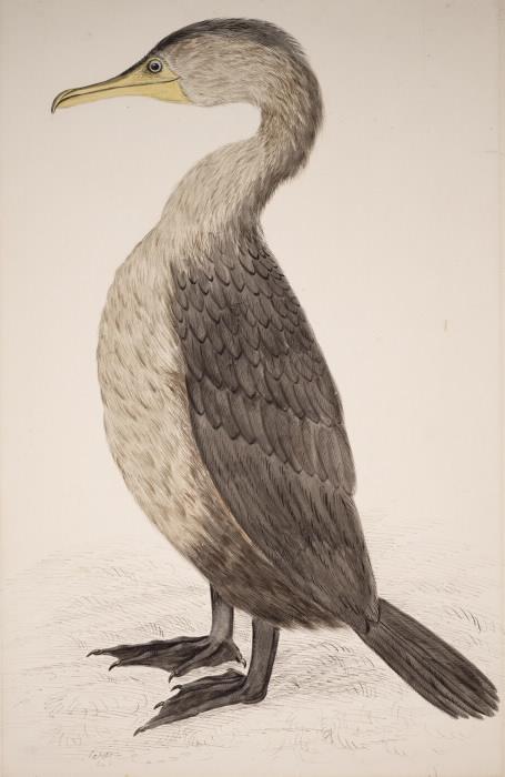 Double-crested cormorant illustration