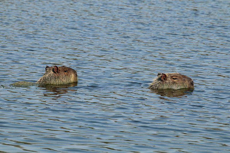 Capybara swimming by Charlesjsharp - own work from Sharp Photography sharpphotography via wiki creative commons
