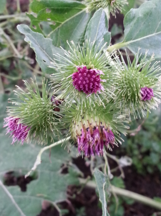 Thistle small