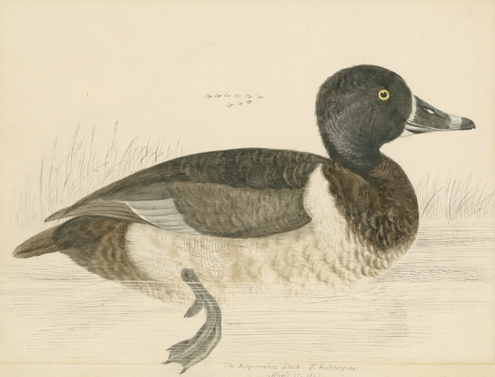 RingNecked Duck illustration