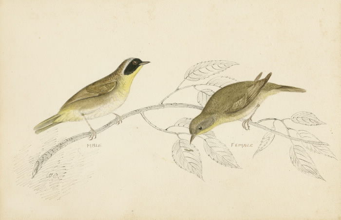 Illustration of two Maryland  Yellow-Throats
