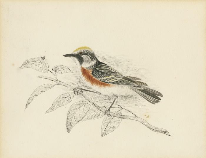 Chesnut sided warbler illustration