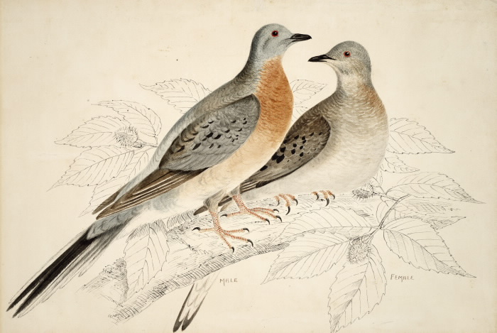 Illustration of male and female passenger pigeons