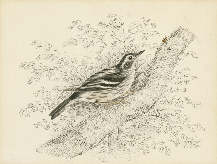 Black and White Warbler illustration