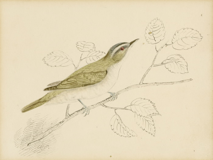 Red Eyed Vireo illustration