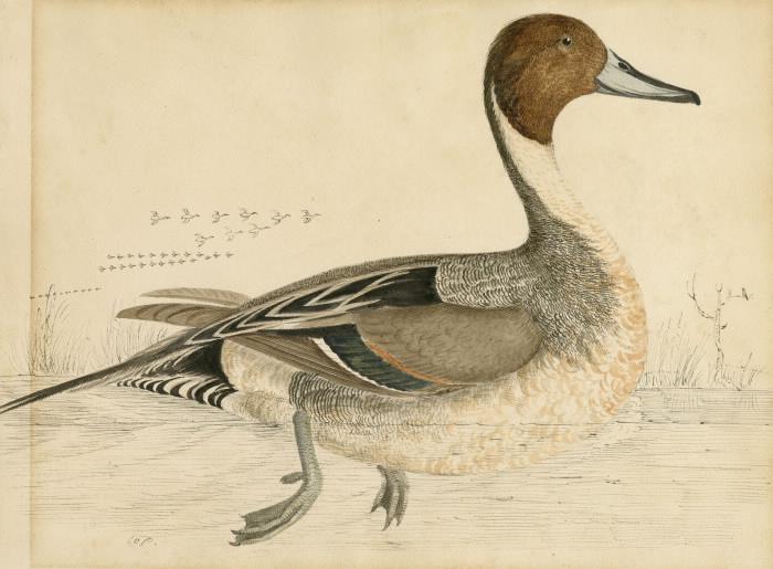 Pintail Duck illustration