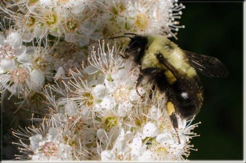 Toronto Botanical Garden Eastern bumble bee on meadowsweet Photo Credit Leslie Bol