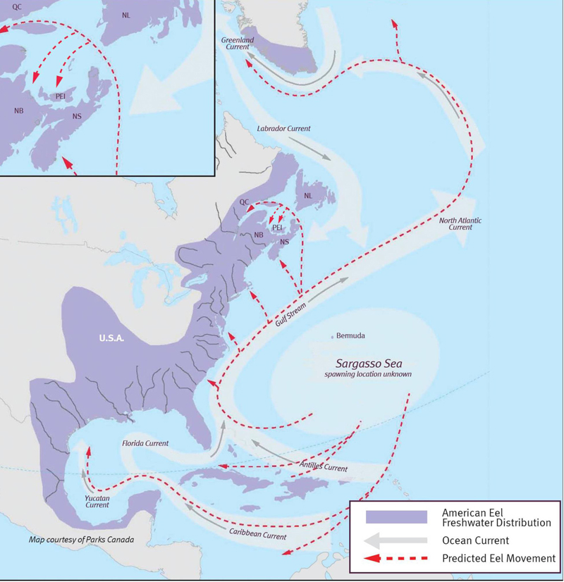 Migration route of North Americal Eels
