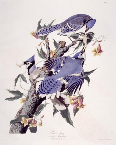 Blue Jay  1827