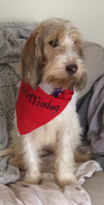 Dog wearing a red bandana that says Gryffindog