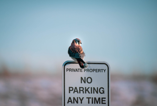 A bird with soft pinkish feathers sits on top of a No Parking sign.