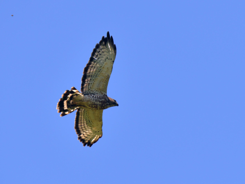A hawk soars in the air with a clear blue sky.