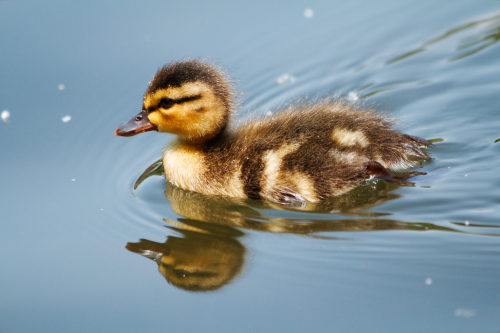 A swimming baby duck