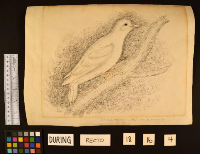 Old paper drawing of bird with paper curled