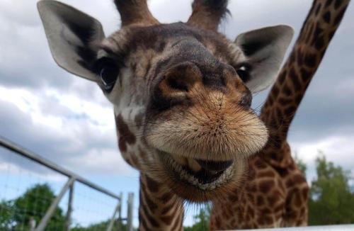 Toronto Zoo - giraffe image