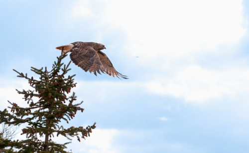 A hawk takes off from the top of a pine tree.