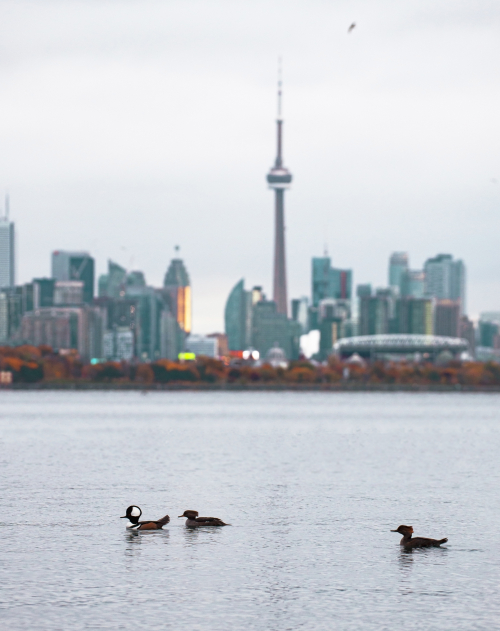Three birds float along the water with the Toronto skyline in the background.